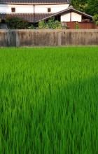 Summer Rice Field, 7