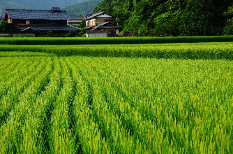 Summer Rice Field, 4