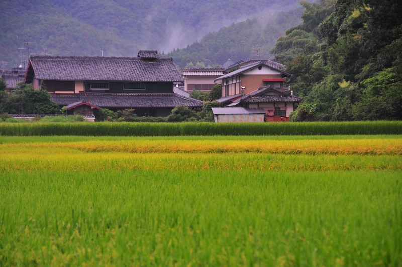 Rice Field, Rainy Day