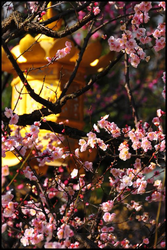 The Plum Blossoms of Kitano Shrine (北野天満宮の梅)