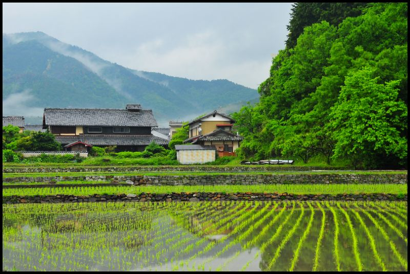 Spring Leaves: Rice Field