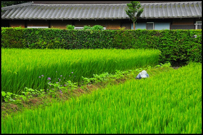 At Work: Rice Field