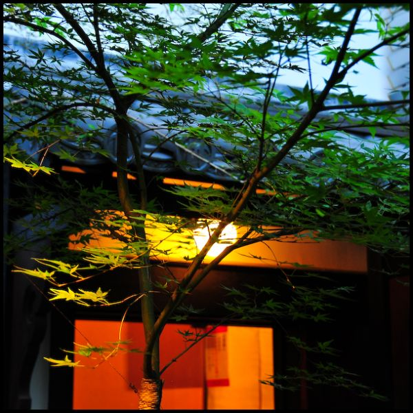 Evening Maple