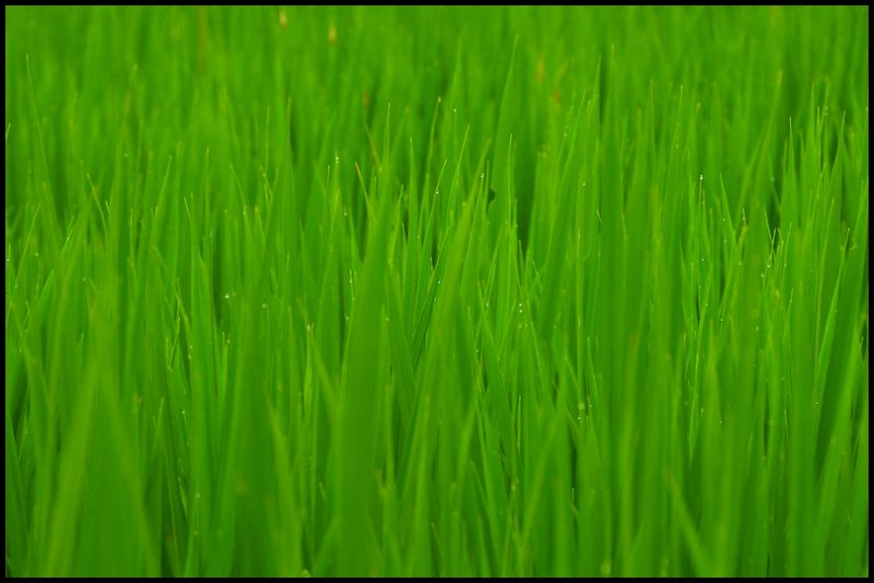 Harmony in Green: Rice and Rain