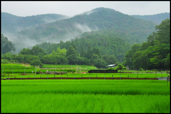 Rainy Day Rice Field