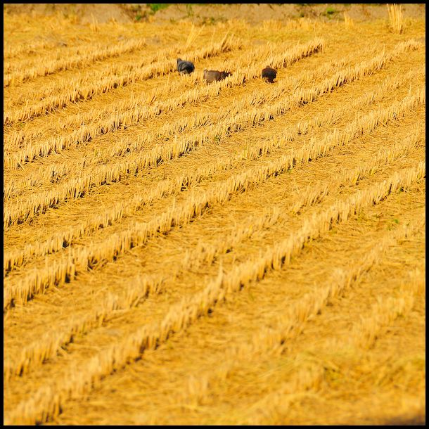 Hints of Autumn: Rice Harvest