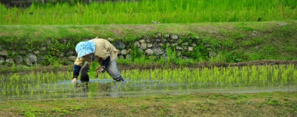 田植え (Planting Rice)