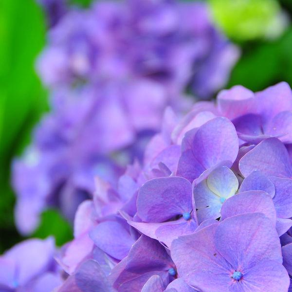A Dream of Purple