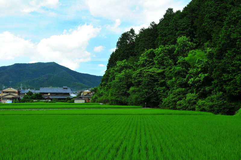 Summer Rice Field