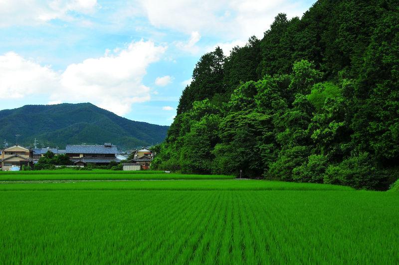 Summer Rice Field