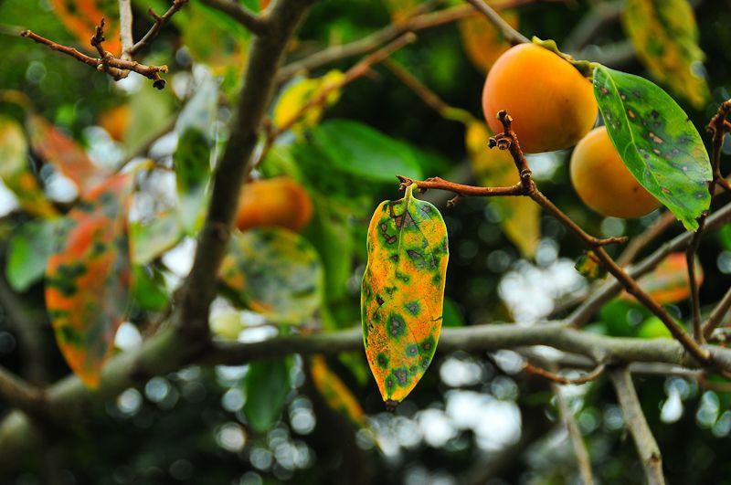 Autumn Persimmon