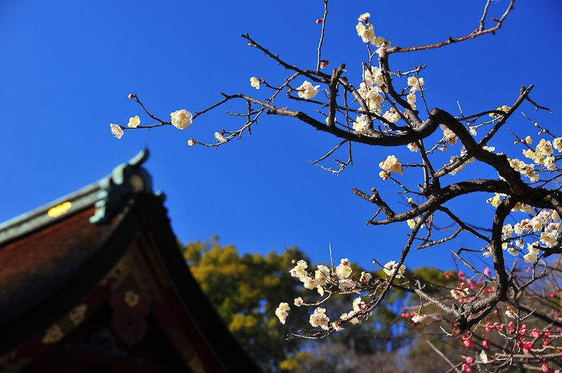 The Plum Blossoms of Kitano Shrine
