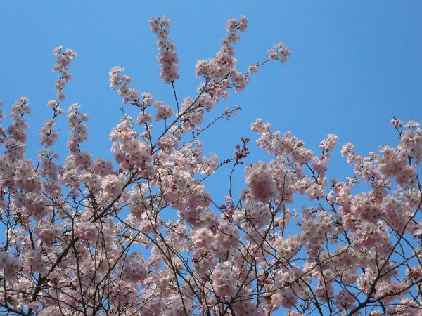 The Eternal Sakura