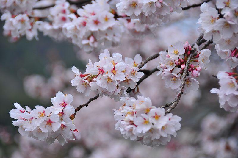Monday Sakura