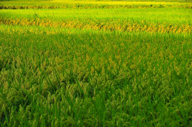 Late Summer Rice Field