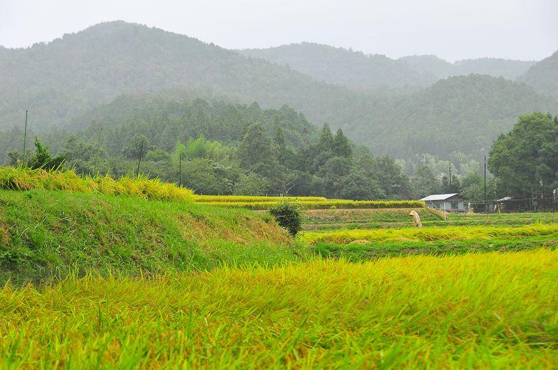 Rainy Day Rice Fields
