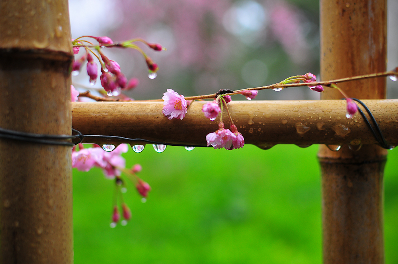 Rainy Day Cherry Blossoms「雨の日の桜」