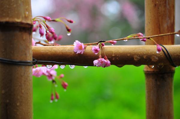 Rainy Day Cherry Blossoms「雨の日の桜」