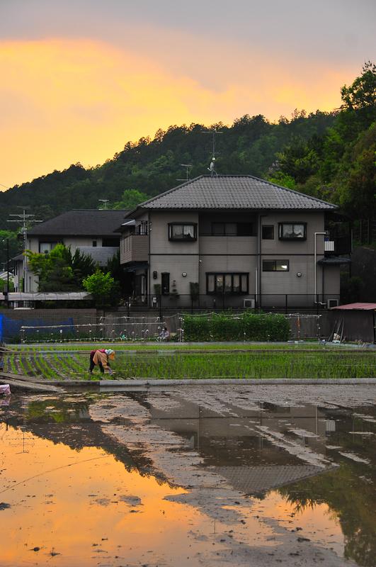 Evening Rice Field 「夕方の田んぼ」