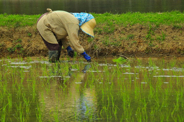 Planting Rice, 3「田植え」