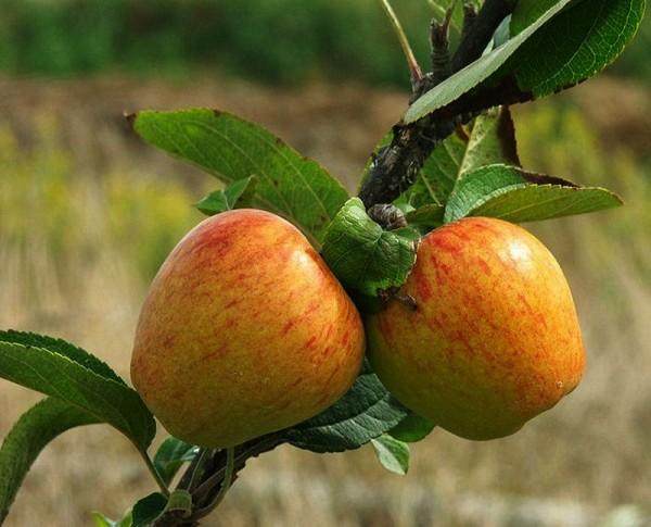 Fruits I