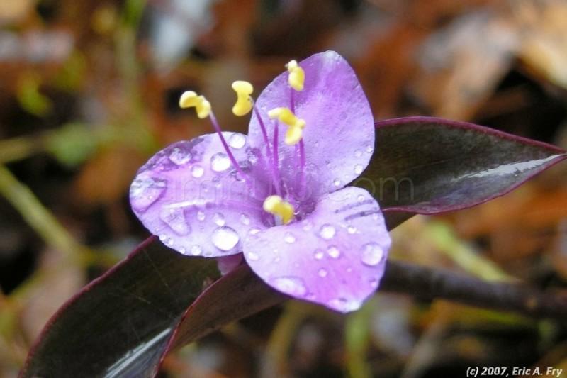 dew on purple flower