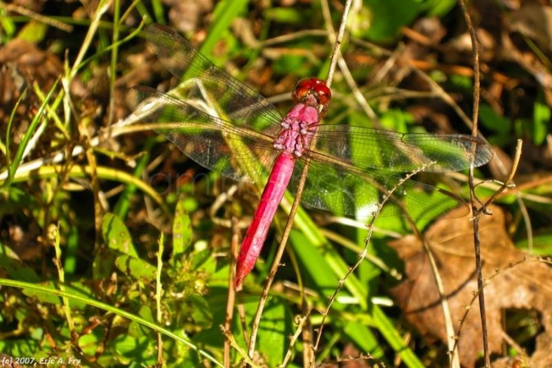 maroon dragonfly