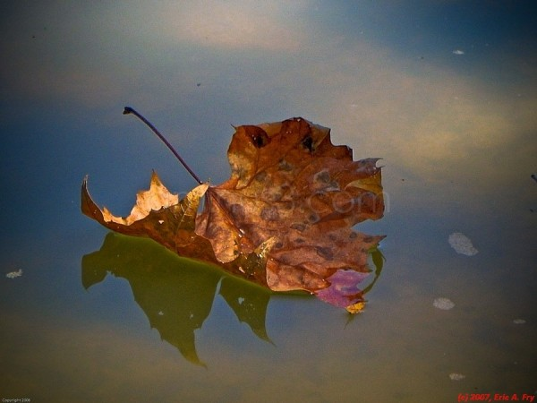 leaf floating on Spring Creek, Humble, TX