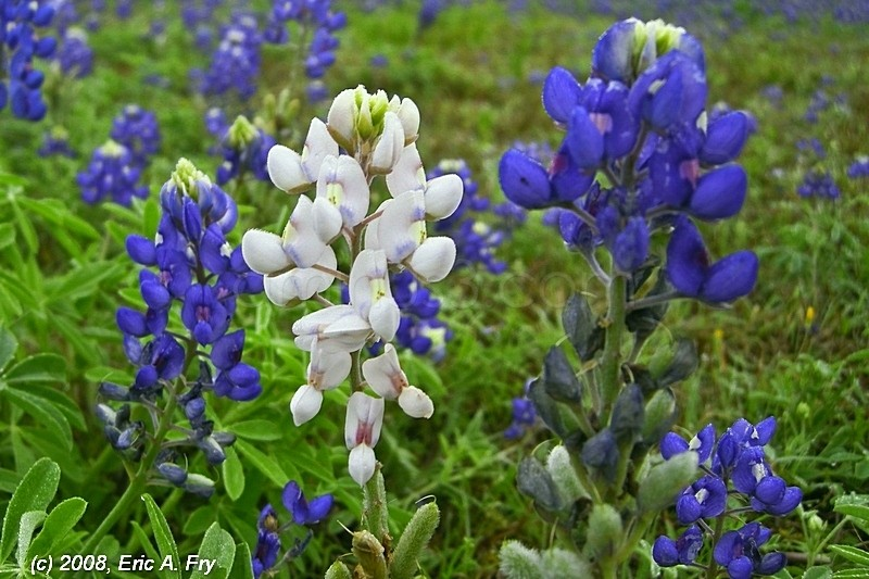 bluebonnet blue white albino