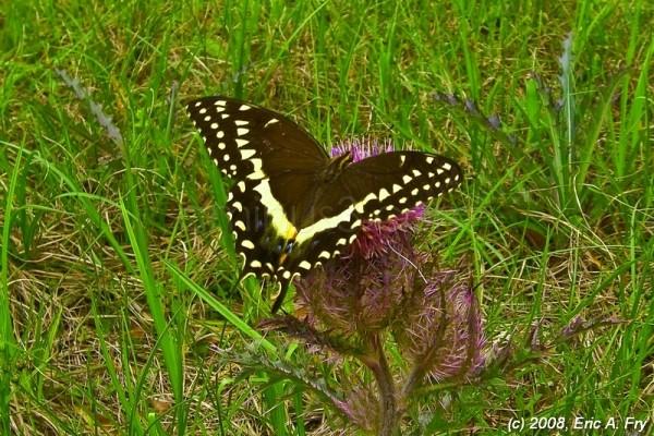 swallowtail butterfly on purple thistle