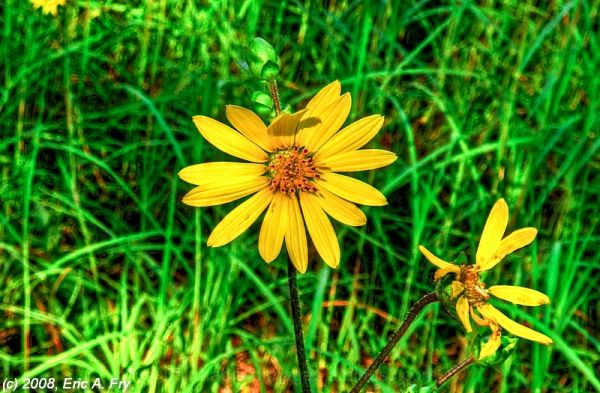 Coreopsis in HDR