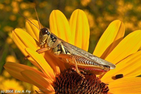 Grasshopper in Coreopsis