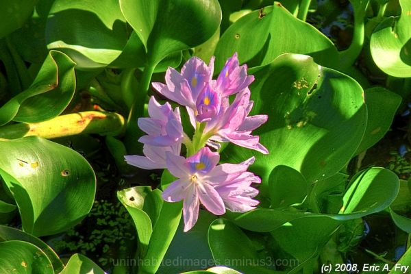 Water Hyacinth in HDR
