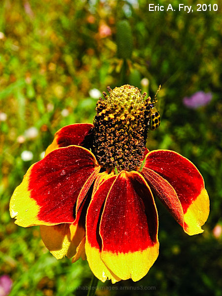 Mexican Coneflower