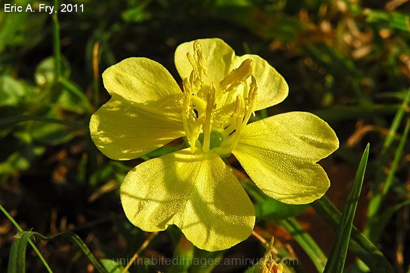 Wild Ranunculus