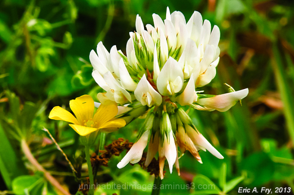 White Clover and Yellow Wood-Sorrel