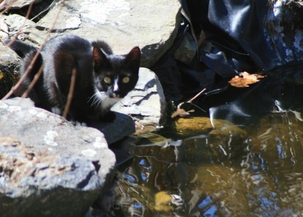 neighbor's cat getting a drink
