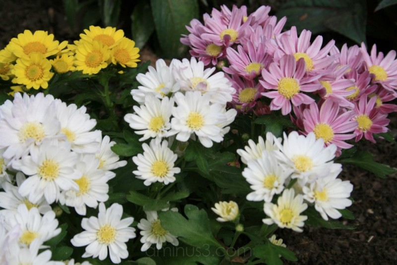 Neighbor's flowers 2