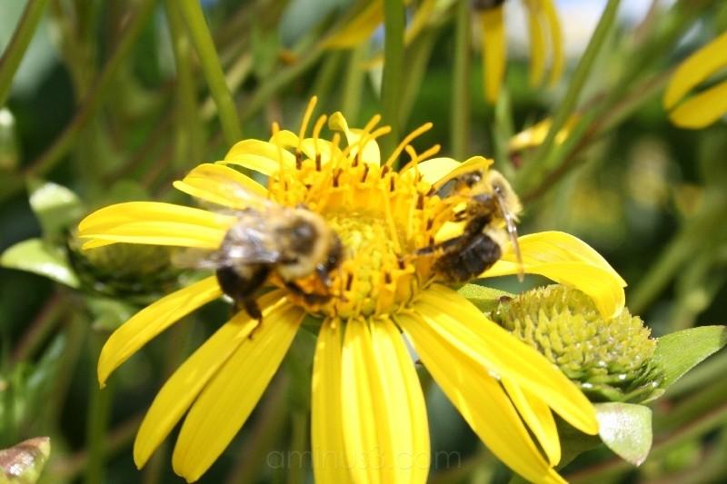 Longwood Gardens Two Bee Yellow
