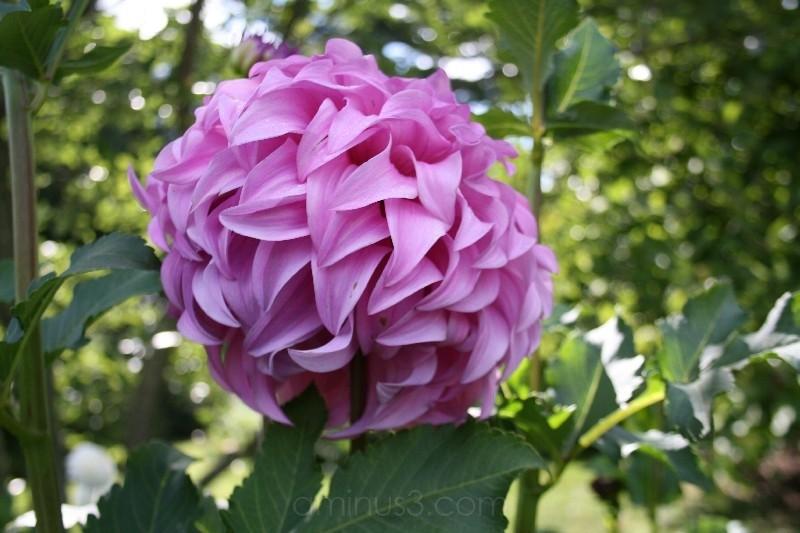 Longwood Gardens purple feathery ball