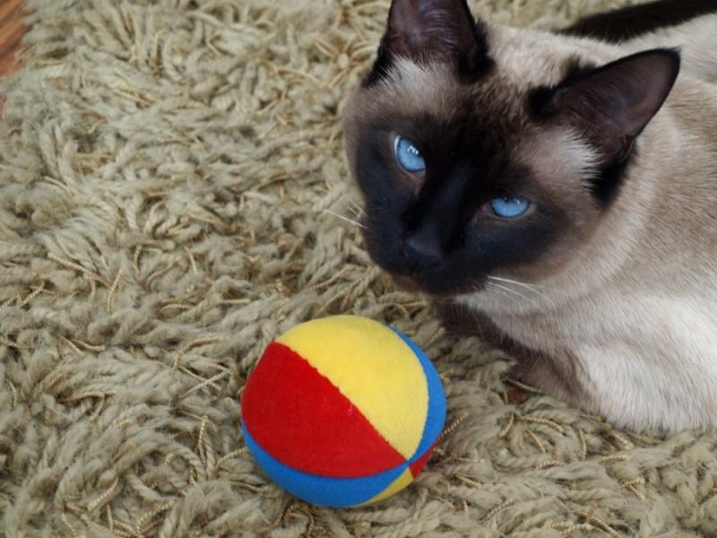 Jasmine the Cat