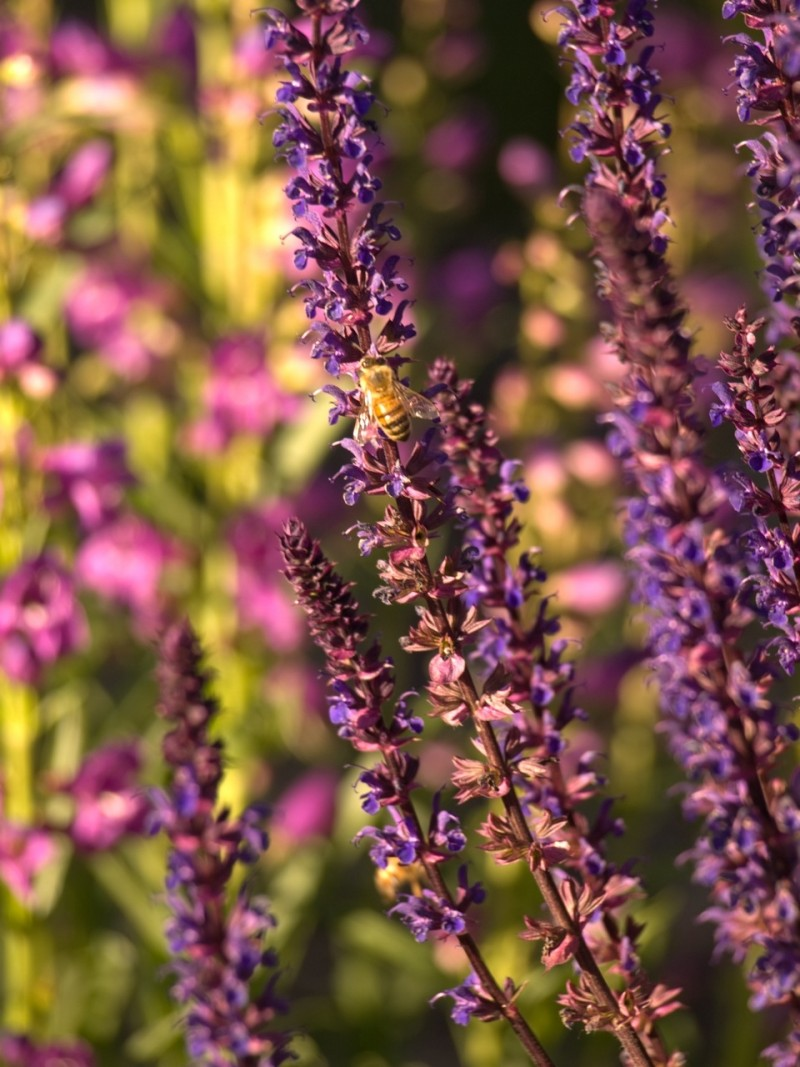 Lavender and Bee