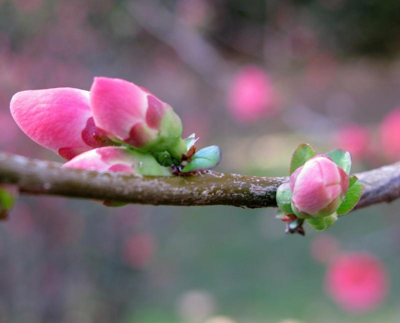 brotes arbusto japones