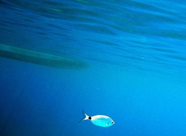 pez solitario