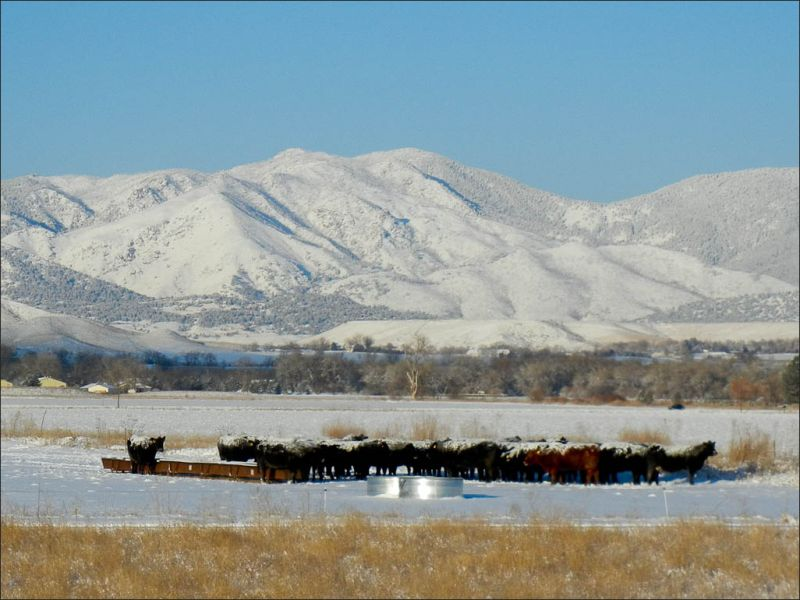 Cows in the winter