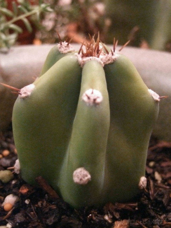 Baby San Pedro cactus, Echinopsis pachanoi