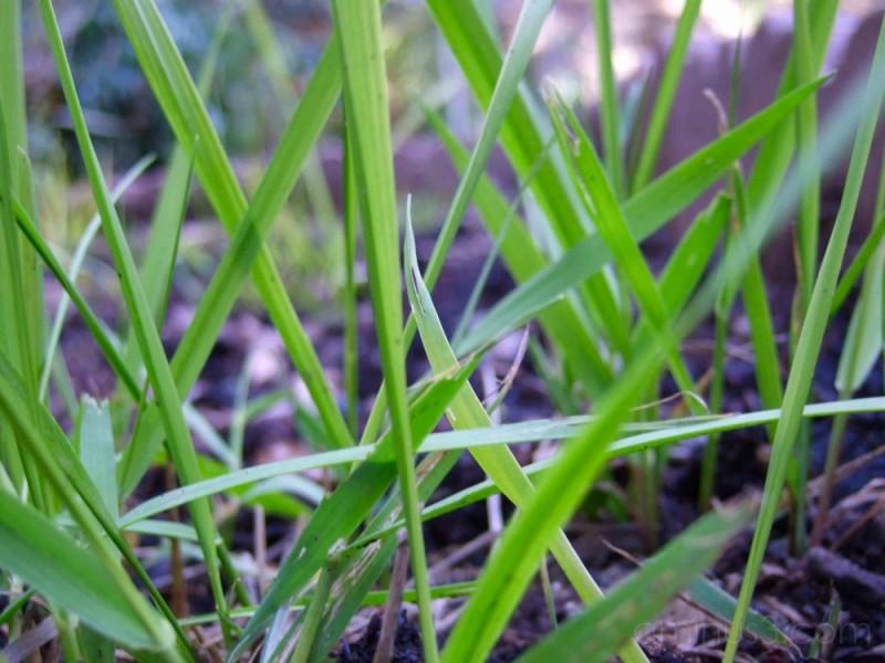 Sweetgrass, Hierochlöe odorata
