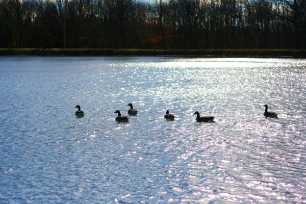 Ducks on Wilborne Lake