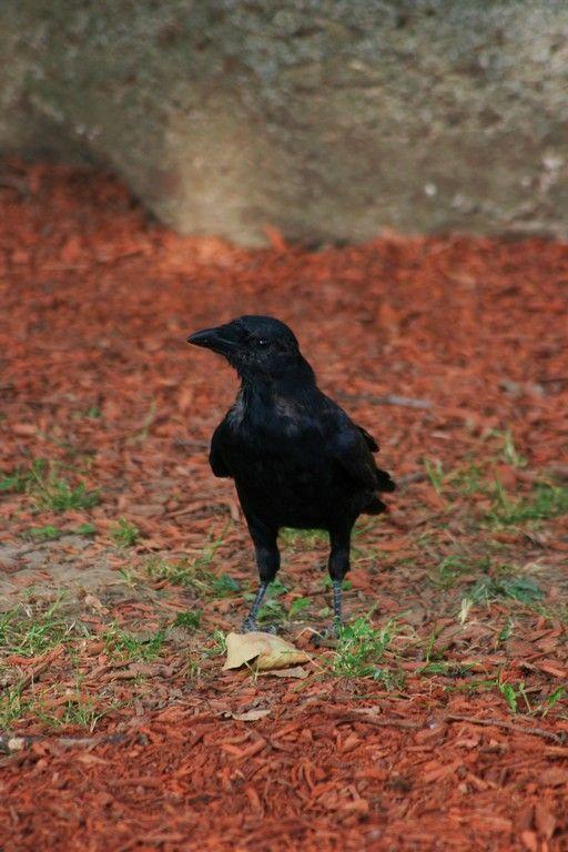Crow'n