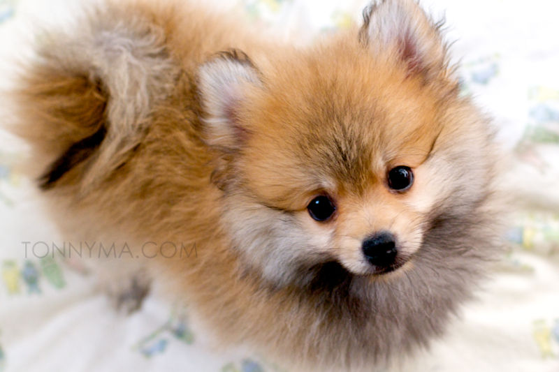 "My new puppy ""April"" a beautiful Pomeranian"